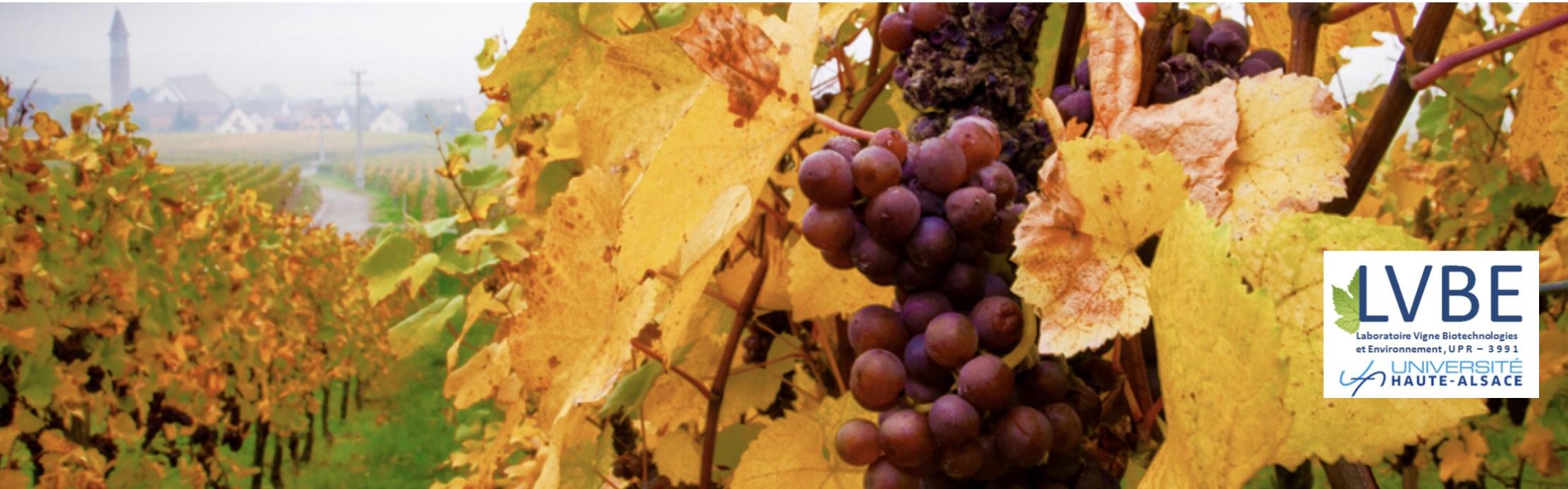 Vignes en automne et logo LVBE